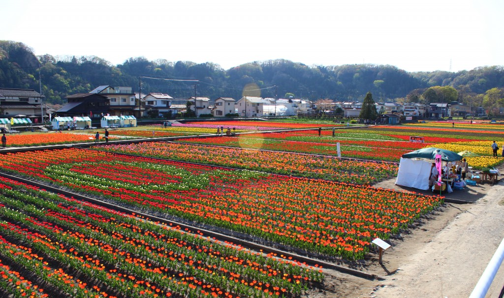Hamura tulips Rebekah Storman2