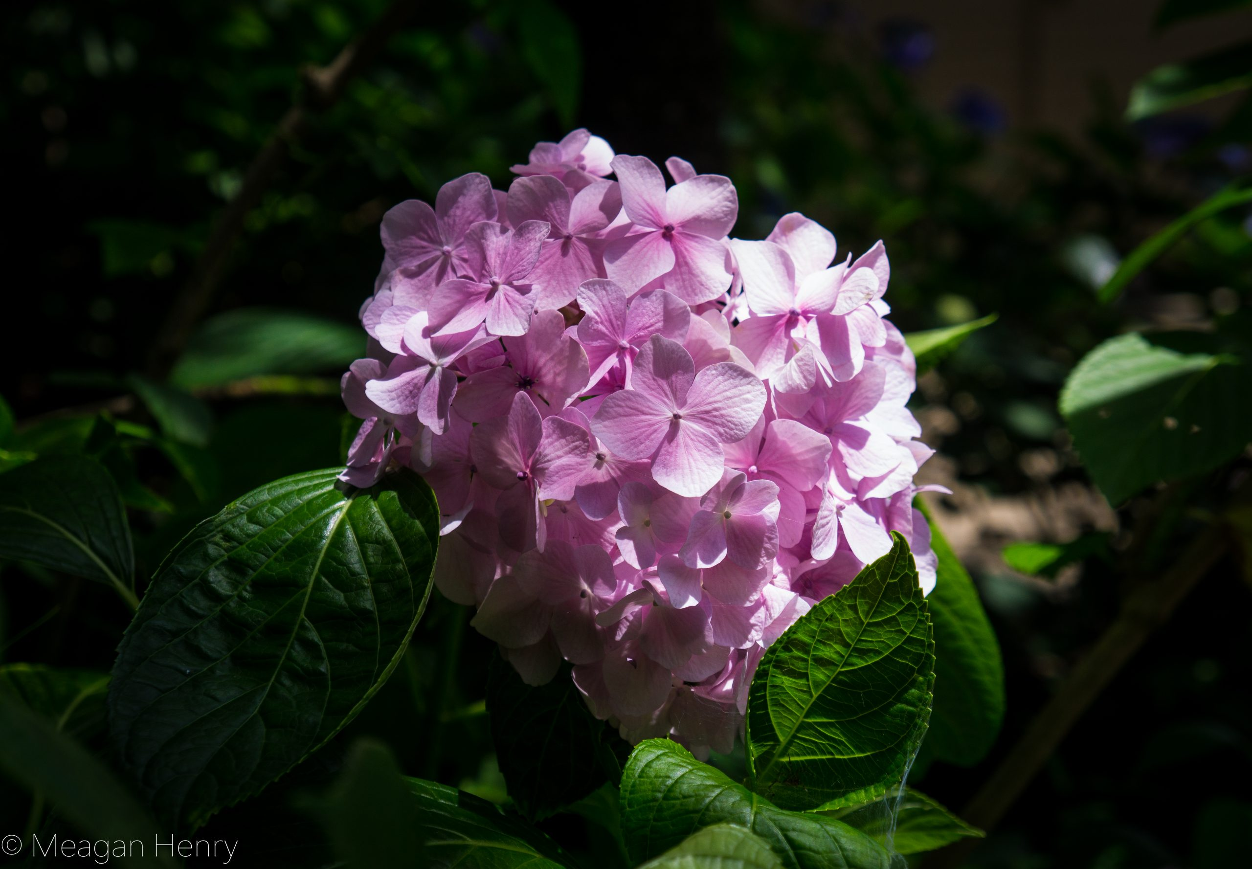 Where to See Hydrangeas During the Rainy Season – Top 5 Spots Near Yokota